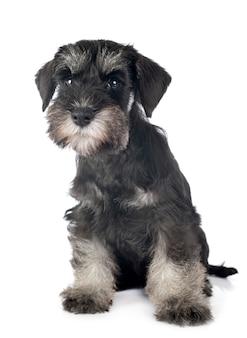 Schnauzer nano cucciolo