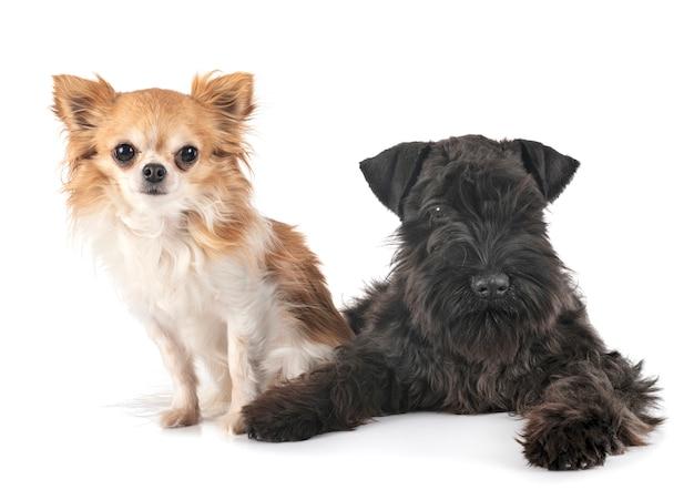 Schnauzer nano nero e chihuahua