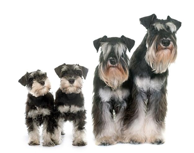 Schnauzers in miniatura della famiglia