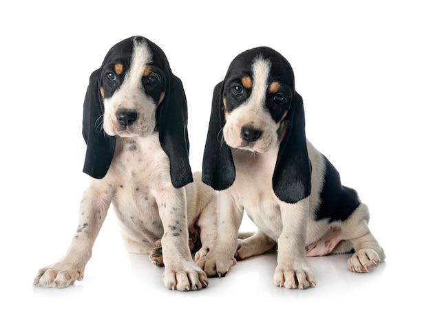 Schweizer bernese laufhund dei cuccioli davanti a fondo bianco