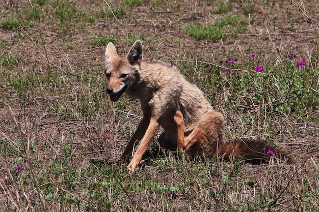 Sciacallo in safari in kenia e tanzania, africa