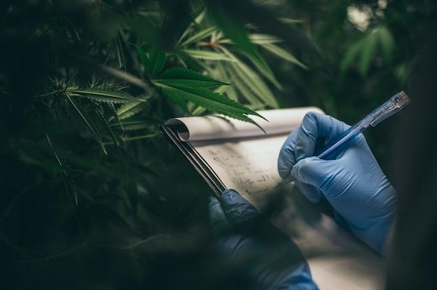 Scienziato che controlla le piante di canapa in una serra dell'erbaccia. concetto di medicina alternativa a base di erbe, olio di cbd, industria farmaceutica
