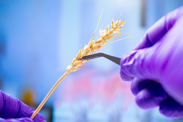 Scienziato professionista con guanti esaminando spighe di grano, esperimenti in laboratorio chimico