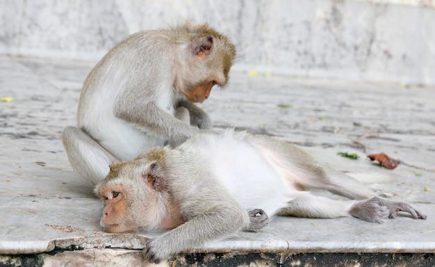 Scimmia alla ricerca di pulci e zecche