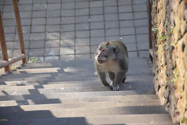 Scimmia cammina sulle scale. foresta delle scimmie, bali, indonesia