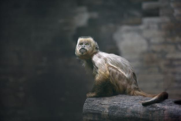 Scimmia cappuccino più ripida