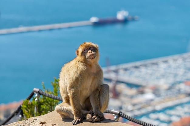 Scimmia che si siede con il porto e la nave a gibilterra