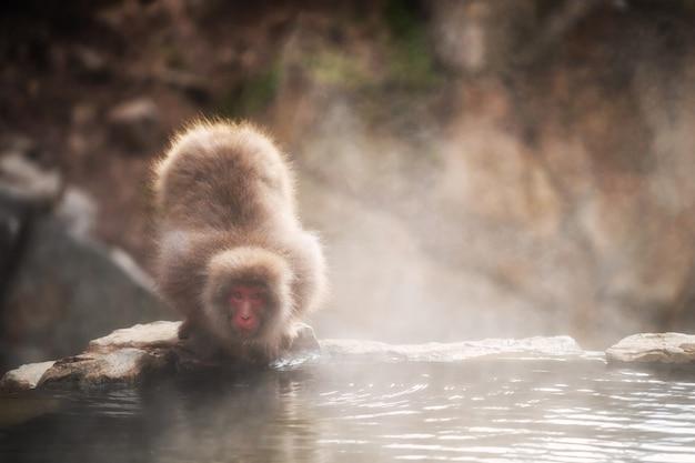 Scimmia della neve alla sorgente di acqua calda nel parco di jigokudani