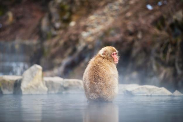 Scimmia della neve nel parco di jigokudani, yamanouchi