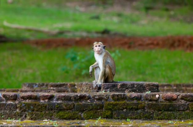 Scimmia dello sri lanka che si siede sulle rovine.