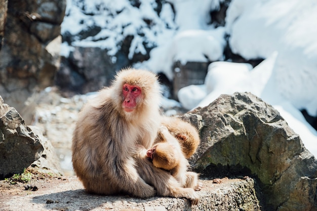 Scimmia di neve in giappone