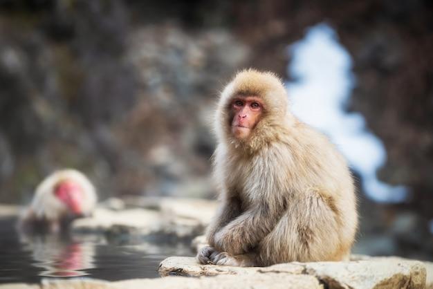 Scimmia giapponese della neve vicino alla sorgente di acqua calda