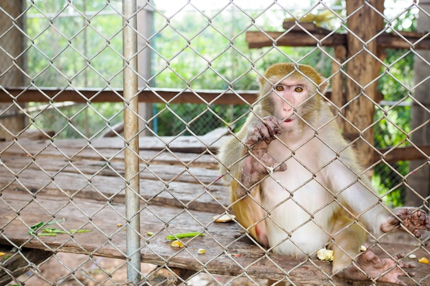 Scimmia in gabbia