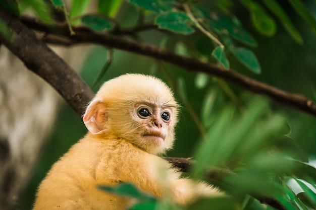 Scimmia oscura della foglia in tailandia