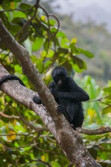 Scimmia ragno dalla faccia nera a yungas, coroico, bolivia