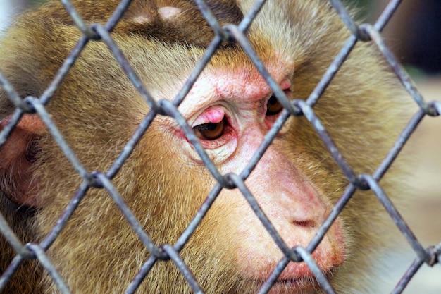 Scimmia triste in una gabbia