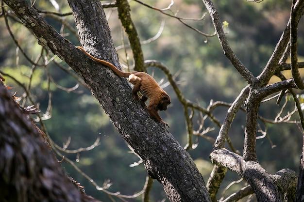 Scimmia ululante rossa boliviana in un albero