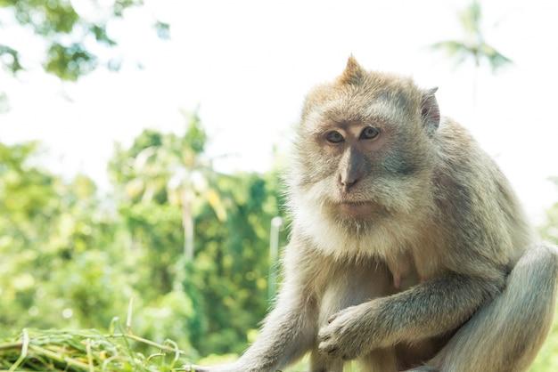 Scimmie a ubud bali