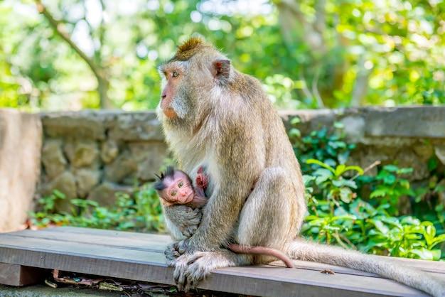 Scimmie dalla coda lunga balinesi femminili con il suo bambino
