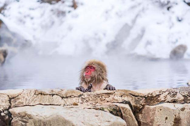 Scimmie della neve alla sorgente di jigokudani a nagano, giappone