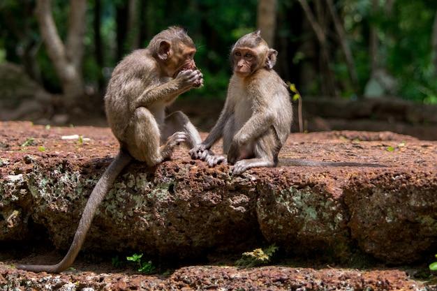 Scimmie di macaco del bambino che dividono alimento in cambogia