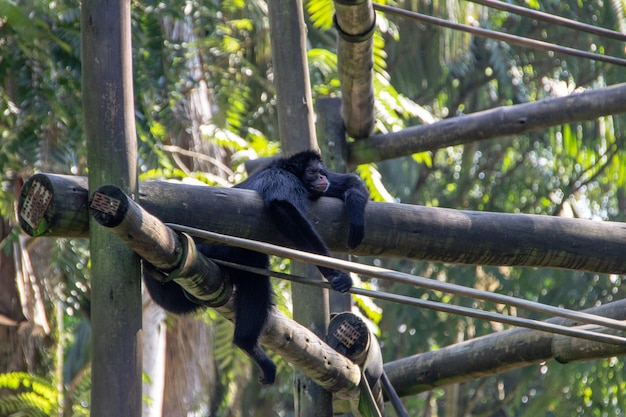 Scimpanzé allo zoo di pomerode a santa catarina, brasile