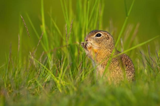 Scoiattolo a terra europeo che si siede nell'erba durante l'estate.