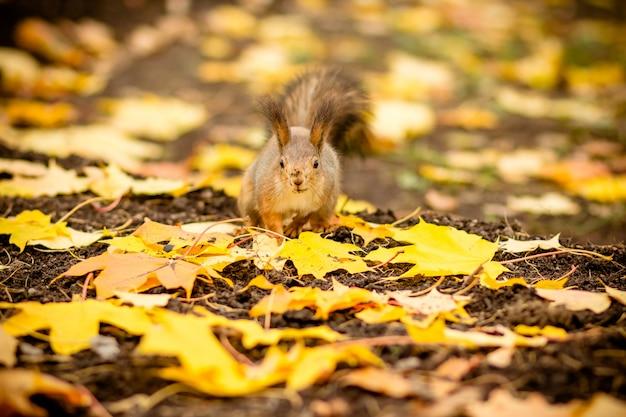 Scoiattolo affamato che mangia una castagna nella scena di autunno. autunno ritratto di scoiattolo, parco giallo con foglie cadute,