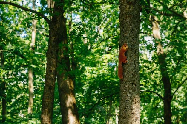 Scoiattolo in un parco su un albero