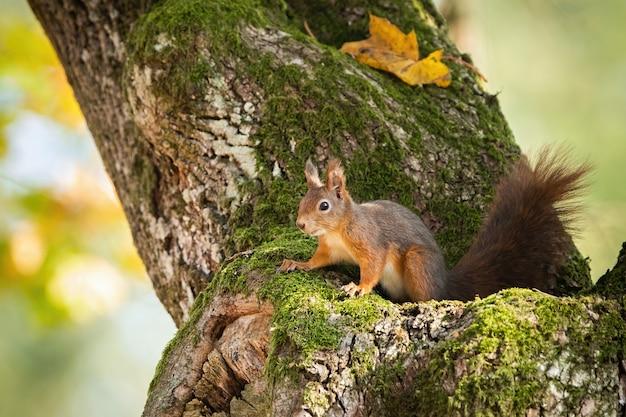 Scoiattolo rosso che si nasconde nel tronco di albero muschioso con le foglie autunnali gialle