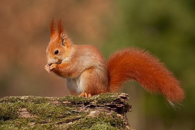 Scoiattolo rosso euroasiatico nella foresta di autunno alla luce calda.