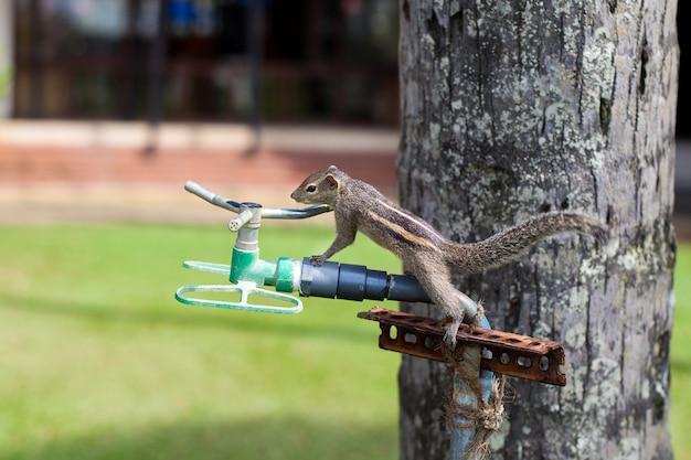 Scoiattolo su un primo piano palma cercando di bere acqua dal sistema di irrigazione dell'hotel