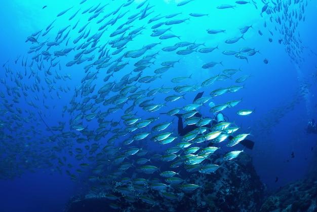 Scombro della scuola di pesce sott'acqua in koh tao, thailandia
