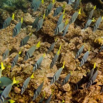 Scuola di pesce chirurgo (zebrasoma flavescens) che nuota sott'acqua, puerto egas, santiago island, isole galapagos, ecuador