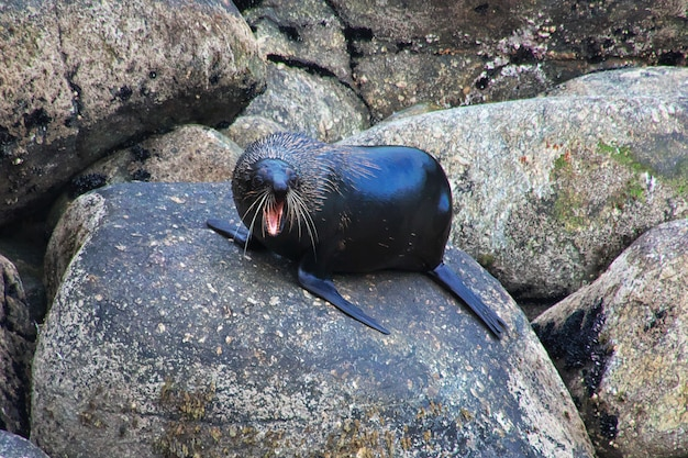 Seal sull'isola del sud