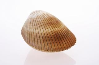 Seashell white