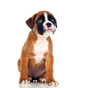 Seduta adorabile del cucciolo del pugile