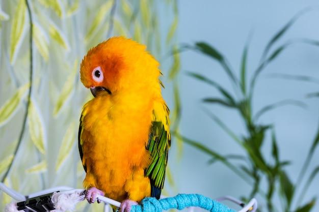 Seduta adorabile variopinta del pappagallo di conuro del sole