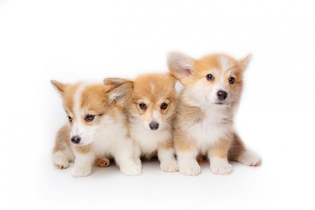 Seduta dei cuccioli di pembroke welsh corgi