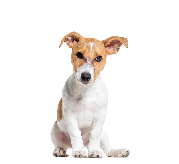 Seduta del cane di jack russel terrier