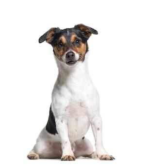 Seduta del cane di jack russel