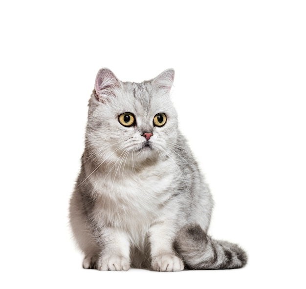 Seduta di grey british shorthair cat, isolata
