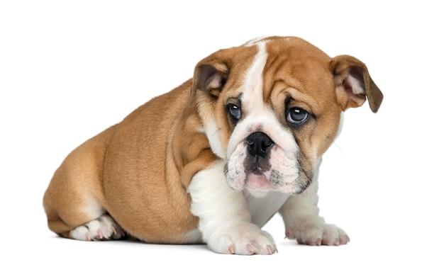Seduta inglese del cucciolo del bulldog, isolata su bianco