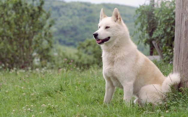 Seduta maschio beige del cane di laika all'aperto