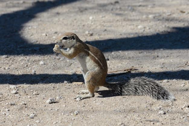 Seduta sudafricana di inauris dello xerus dello scoiattolo a terra