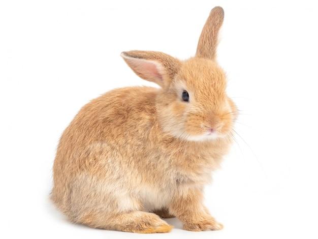 Seduta sveglia rosso-marrone del coniglio del bambino isolata su bianco.