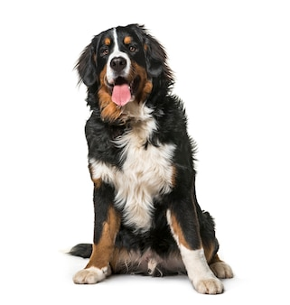 Seduto ansimando bernese mountain dog