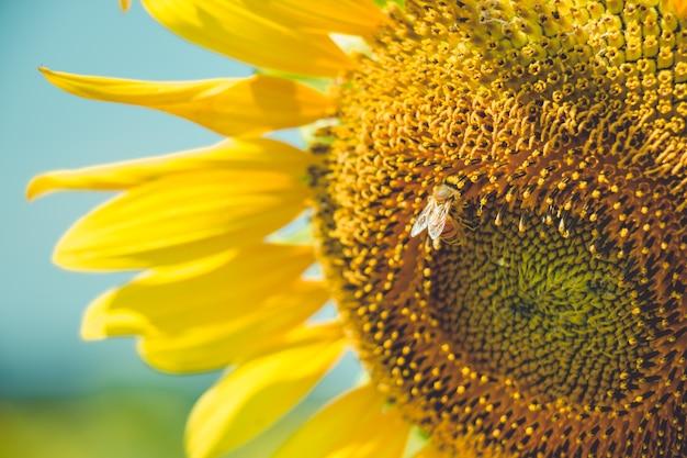 Selezioni il fuoco il polline di girasole sta fiorendo e l'ape sta alimentando in giorno pieno di sole