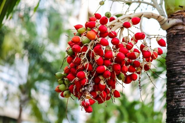 Seme rosso e nuovo seme di palma verde sull'albero