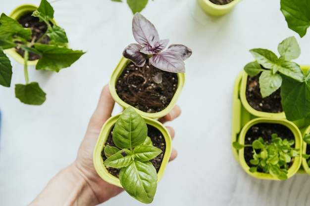 Semenzali del basilico in vasi di plastica verdi in una mano femminile.